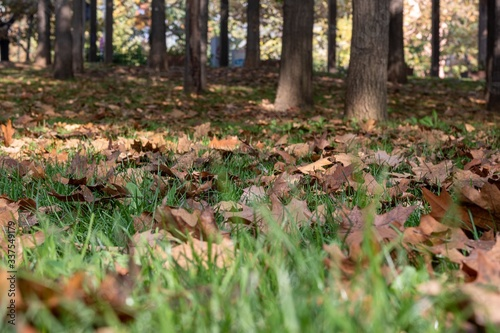 Low angle closeup shot of the ground of the park, covered in dry brown ample lea Canvas Print