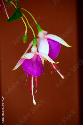 Fotografia Close-up Of Fuchsias Blooming Against Brown Wall