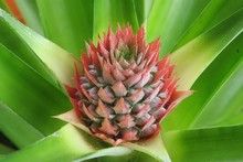 Tropical Flower Of Pineapple