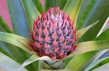 Beautiful Pineapple Flower