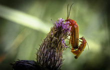 Close-up Of Insects Mating On ...