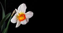 Spring Flowers. Daffodil Flowe...