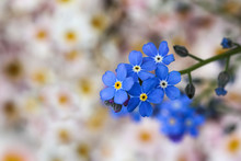 Blue Romantic Forget Me Not  - Myosotis Flowers Infront Of A Blurry Background With White And Light Pink Daisies In The Perennial Cottage Garden.
