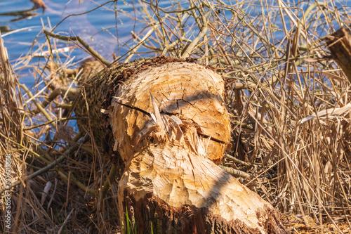 Photo ein umgefallener Baum  von einem Bieber zerstört