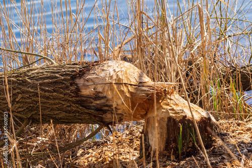 фотография ein umgefallener Baum  von einem Bieber zerstört