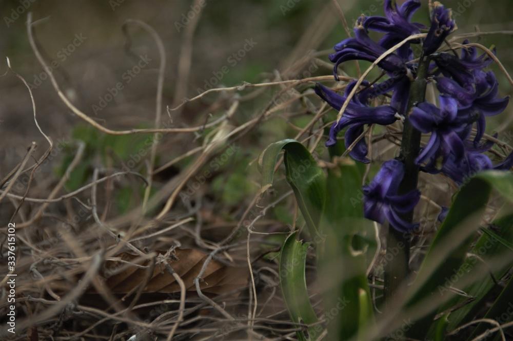 Fototapeta piękny fioletowy hiacynt