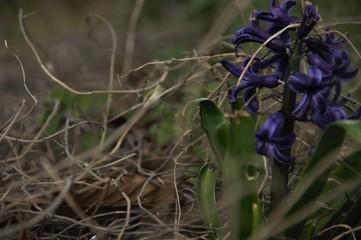 piękny fioletowy hiacynt