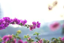 Close-up Of Fresh Pink Flowers Blooming Against Sky