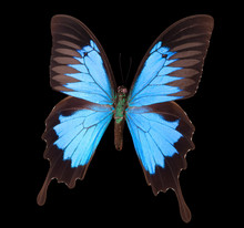 Blue Emperor Butterfly Isolated On A Black Background