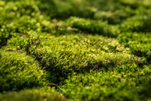 Beautiful Green Moss On The Fo...