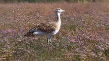 Great Bustard (Otis Tarda). Wild Male Bird Great Bustard Standing On The Flowering Grassland In The Nature Habitat.