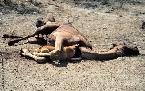 Wildhunde an einem toten Dromedar - Wildhunde sind geschickte Jäger, aber auch Canvas Print