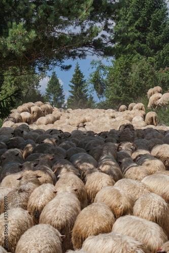 Kierdel owiec w Pieninach
