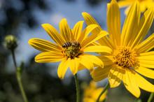 Bee On The Flower Of (Helianthus Tuberosus) Jerusalem Artichoke In The Sun. Photo