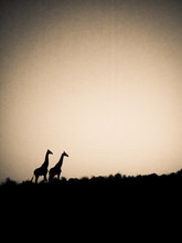 Silhouette Giraffes On Field Against Sky
