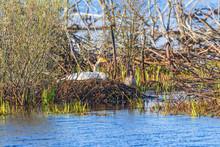 Whooper Swan Nesting In A Wetland