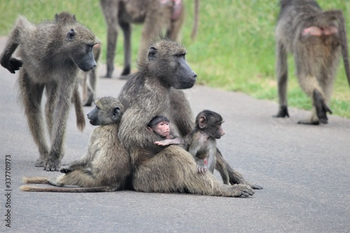 baboon family Canvas Print