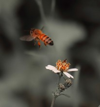 Bee Standing On Orange And White Flower Trying To Get Pollen With On A Black And Grey Background