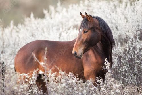 Cuadros en Lienzo Bay stallion portrait on spring blossom tree