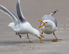 A Pair Of Seagulls Arguing Ove...