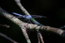 A Blue Dasher Dragonfly Pauses...