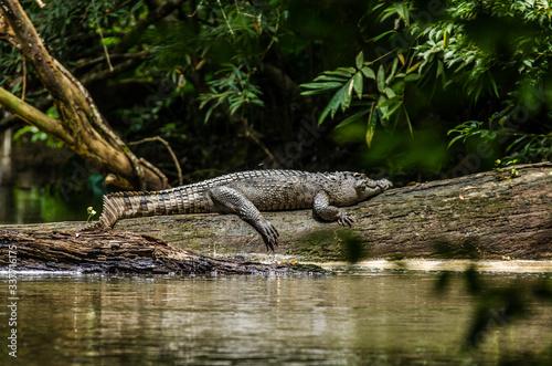 Crocodile On Fallen Tree By Lake Fototapete