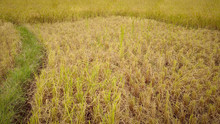 Harvested Rice Paddy Field In ...
