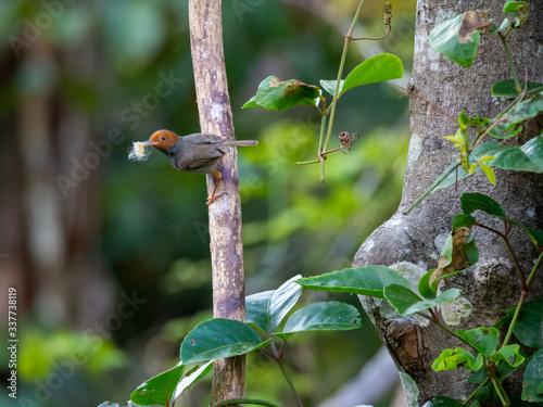 Ashy Tailorbird (Orthotomus ruficeps) in Kinabatangan Wildlife Sanctuary, Sabah, Wallpaper Mural