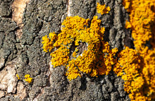 Yellow Moss On A Tree Bark As A Background.