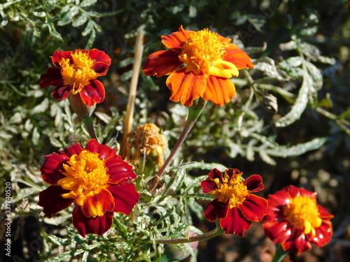 Photo Mexican marigold, or Tagetes erecta, red, orange and yellow flowers, in a garden