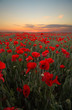 Red Poppies Blooming On Field Against Sky During Sunset