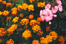 Close-up Of Flowers Blooming O...
