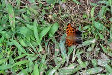 A Top Down Look At A Dorsal View Of A Question Mark Butterfly Resting On A Green Backyard Lawn. Bokeh.