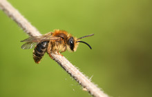 A Tiny Bee Perching On A Plant Stem In Spring In The UK.
