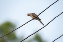 Zebra Dove Bird On Electric Wi...