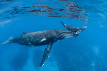 Mother And Calf Humpback Whale...