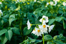Flowering Potato Bushes. Potato Bush Blooming With White Flowers
