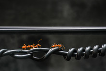 Close-up Of Ants On Cable