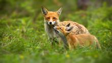 Family Of Red Fox, Vulpes Vulp...