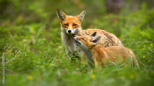 Fototapeta Family of red fox, vulpes vulpes, mother and young cub touching with noses in green summer nature
