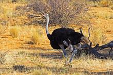 Male Ostrich In Kalahari