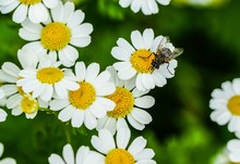 Closeup Shot Of A Fly On A Beautiful Tiny Daisy Flowers