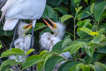 Great White Heron Chick In Nest