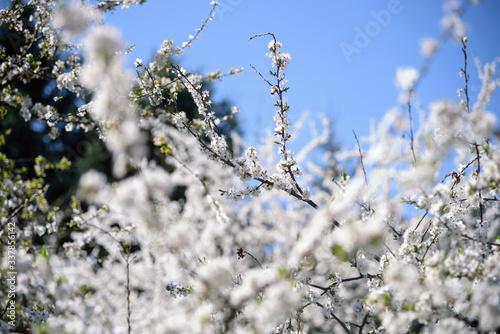 Papel de parede white blossoming cherry tree