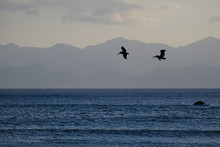 Two Pelicans Flying Above The Sea
