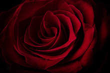 Close Up Beautiful Deep Red Rose In The Darkness. Dark Moody Floral Background. Macro Photo.