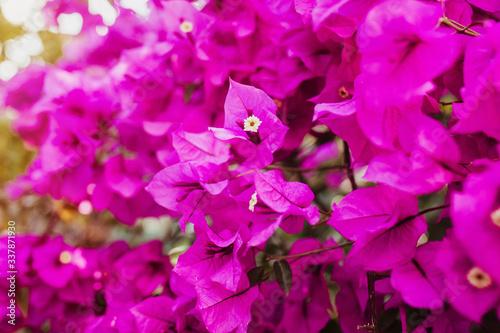 Photo bougainvillea flowers purple bush or buganvilla, bugambilia, bunga kertas, Napol