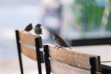 Sparrows Perching On Chairs