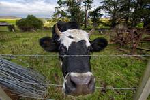 A Cow Peeking Through The Fenc...