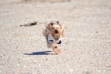 Yorkshire Terrier Running At Beach